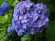 ハート紫陽花